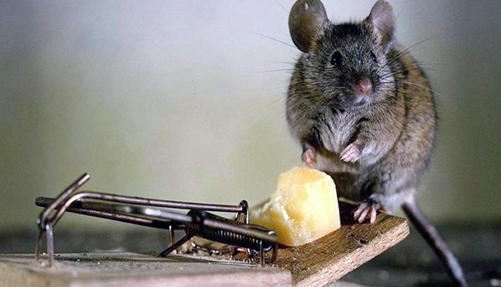 картинка боюсь крыс дома английском стиле